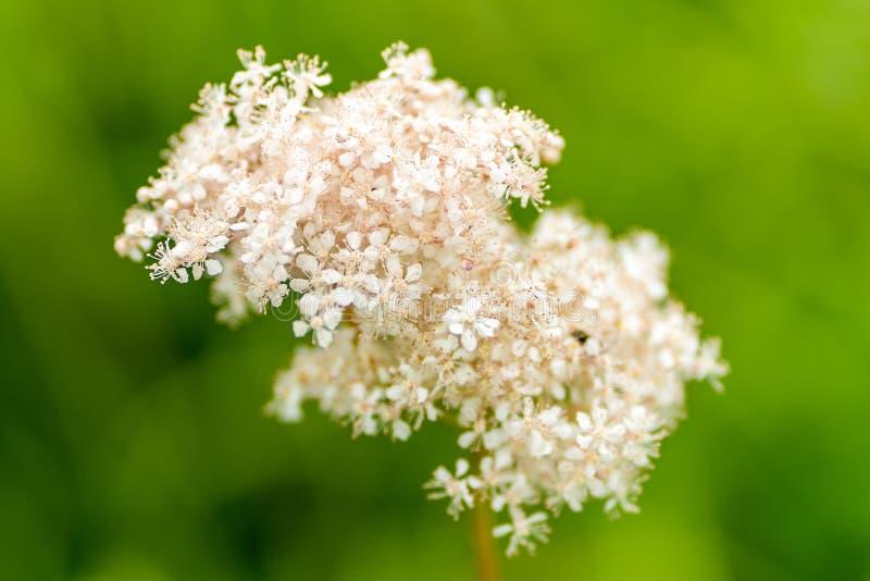 Foto av luftiga vita blommor i mjuk fokus arkivfoton