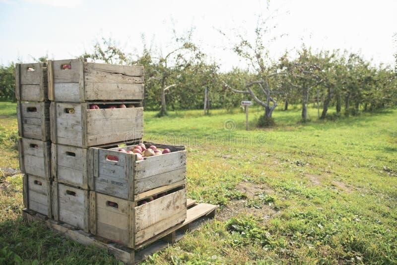 Foto av nytt valda röda äpplen i ett trä royaltyfria bilder