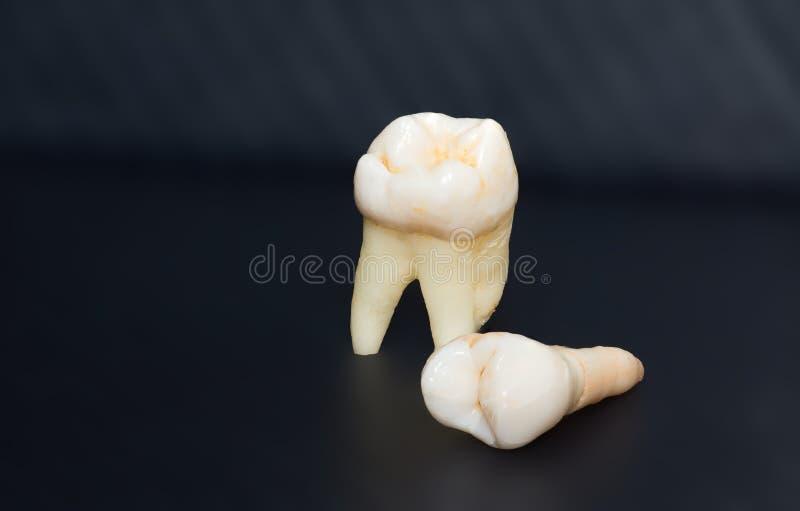 Foto av tänder arkivbilder