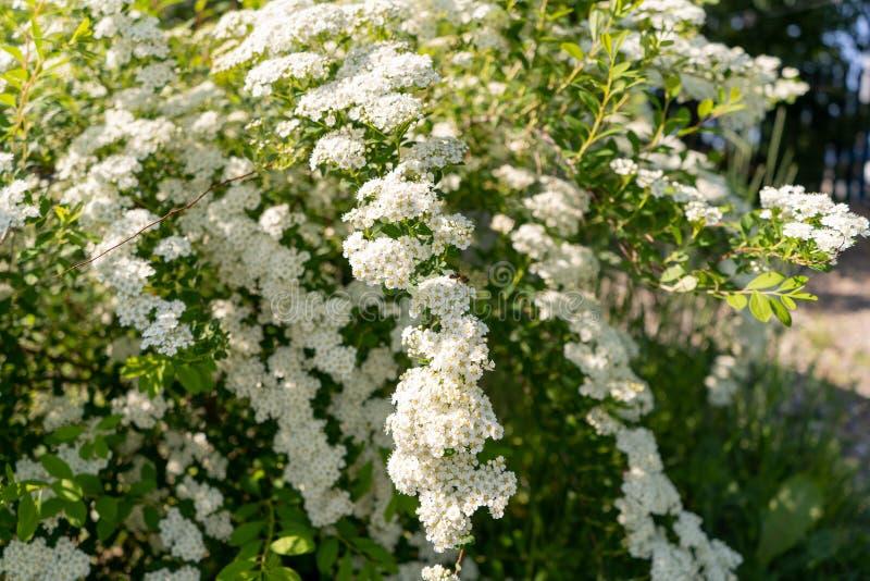 Foto av vita blommor på en buske i en garder arkivbilder