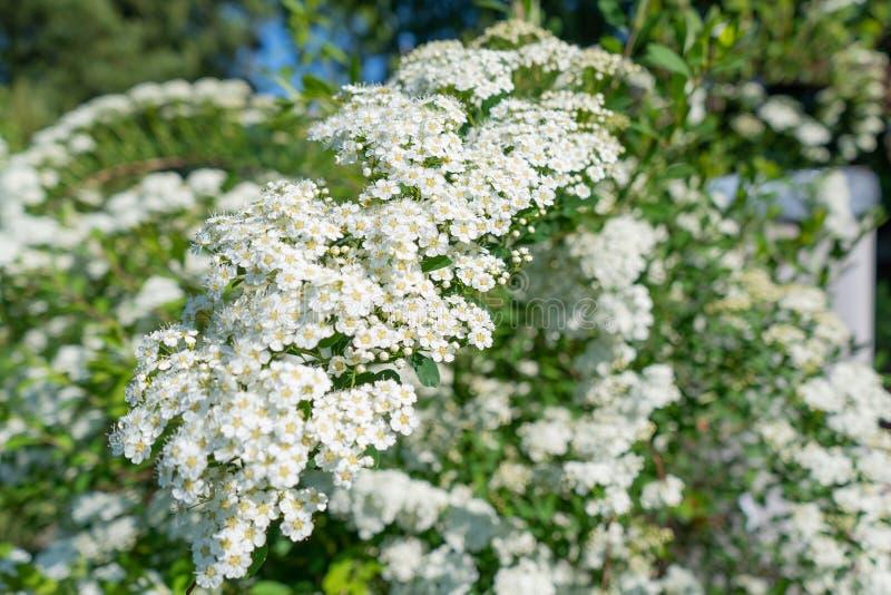 Foto av vita blommor på en buske i en garder royaltyfri bild