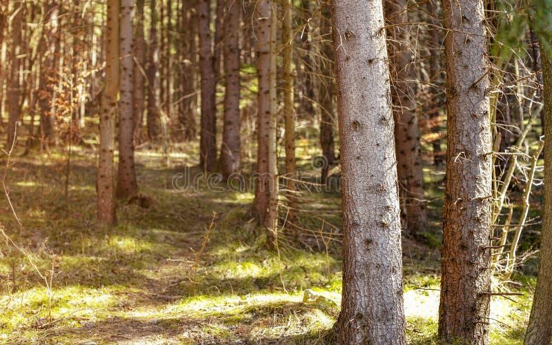 Foto bassa di profondità di campo - soltanto i tronchi di albero anteriori a fuoco, la foresta il giorno di molla caldo, sole spl fotografia stock