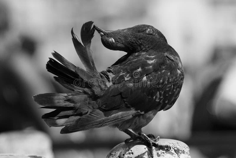 Foto in bianco e nero artistica di un piccione immagini stock libere da diritti
