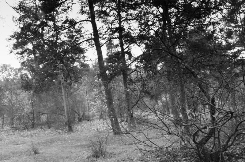Foto in bianco e nero della caduta tarda di legno fotografia stock libera da diritti
