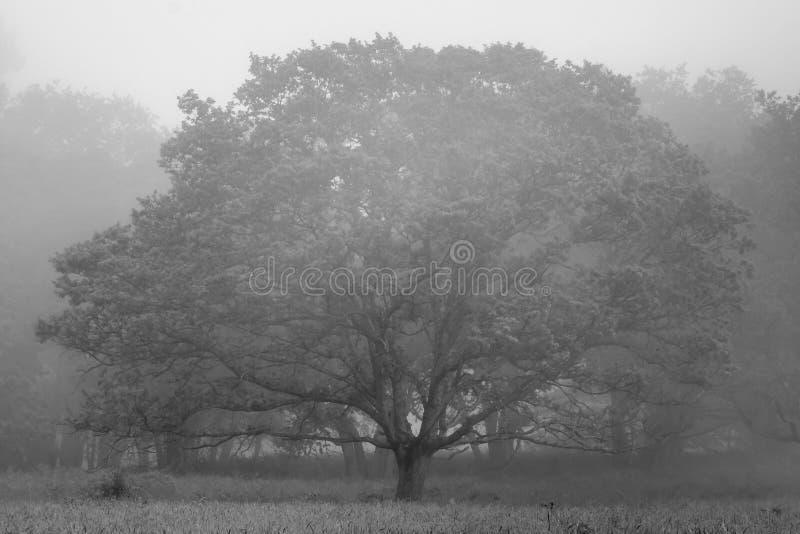 Foto in bianco e nero di bello albero del quercus della quercia su una mattina nebbiosa in primavera fotografia stock