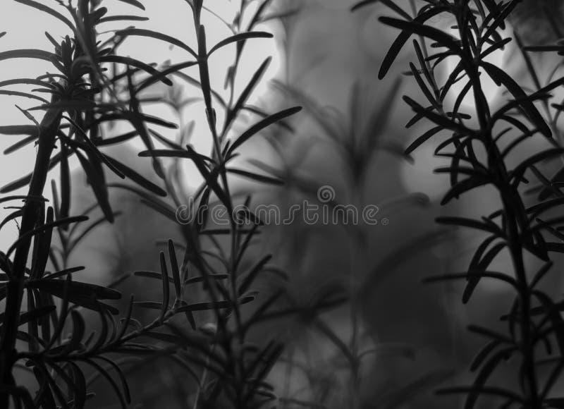 Foto blanco y negro artística de Rosemary que crece en el jardín imagen de archivo