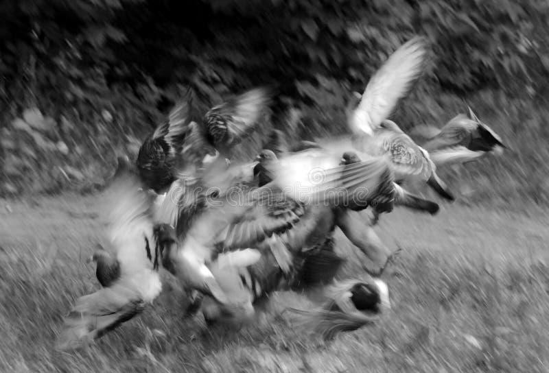 foto blanco y negro de las palomas del vuelo libre illustration