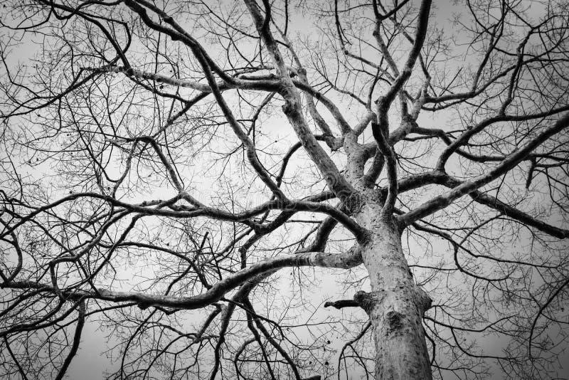 Foto blanco y negro del árbol muerto del invierno fotos de archivo libres de regalías