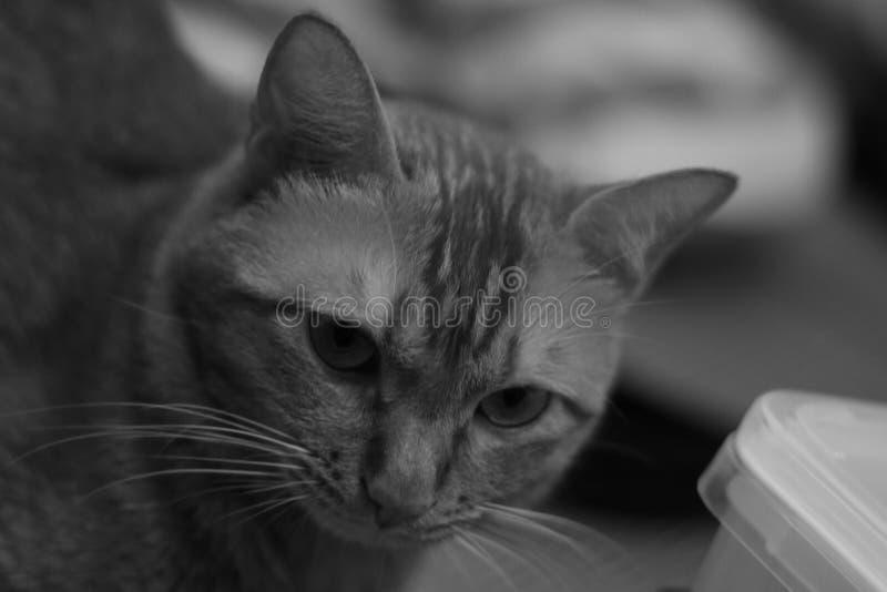 Foto blanco y negro del gato foto de archivo