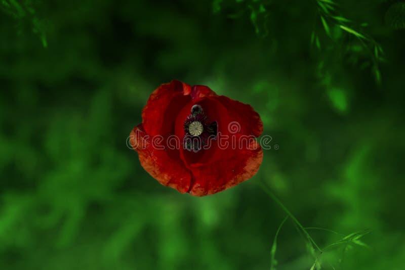 Foto bonita da papoila na flor Rhoeas de Poppy Flowers Papaver do milho na mola imagens de stock royalty free