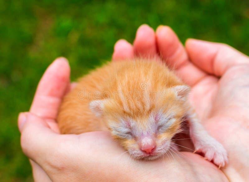 Foto bonito do fim do gato do bebê Vaquinha bonita que dorme nas mãos foto de stock