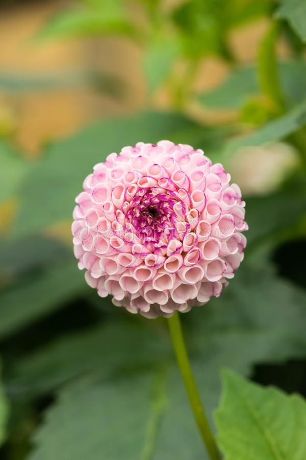 Foto branca bonita do close-up da flor da dália dália branca do Pompom em jardins botânicos de Birmingham imagens de stock