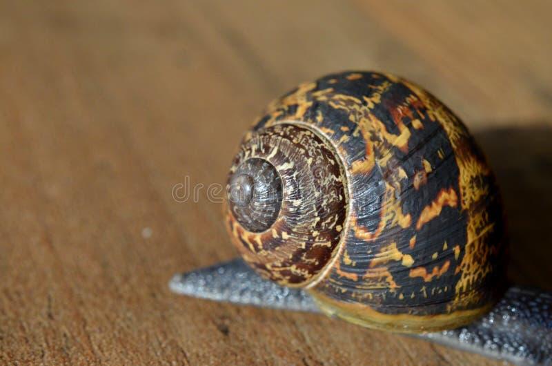 Foto BRITÂNICA do escudo do caracol de jardim imagens de stock royalty free