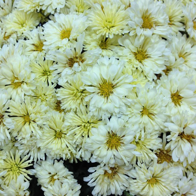 Foto chrysanthemums yellow stock images