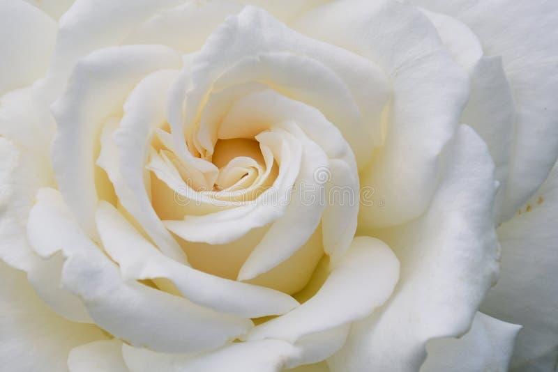 Foto a colori del materiale da otturazione della pagina di una rosa bianca fotografia stock libera da diritti