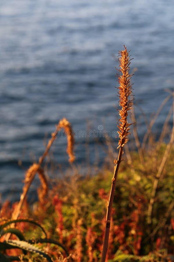 Foto colorida de plantas herbosas amarillas con el mar tranquilo en el fondo fotos de archivo libres de regalías