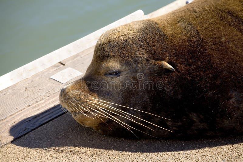 Download Foto Común De Un León De Mar Viejo En Un Muelle Imagen de archivo - Imagen de solo, reclinación: 1278089