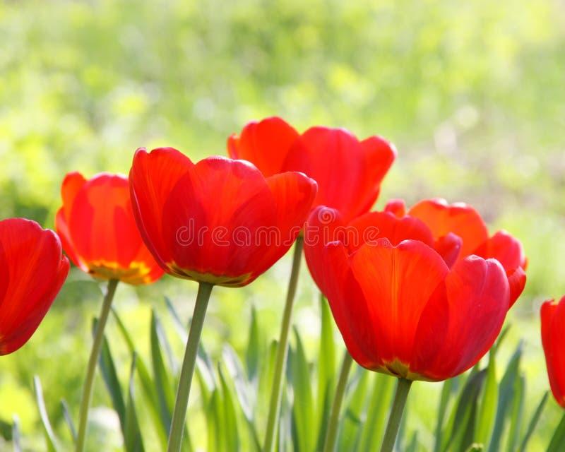 Foto común - Pascua o tarjeta del tulipán del día de madres fotografía de archivo libre de regalías