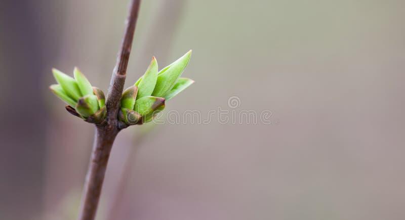 Foto conceptual de la simplicidad Brote de hoja blando suave hermoso del verde de la rama de árbol de la primavera Profundidad de imagenes de archivo