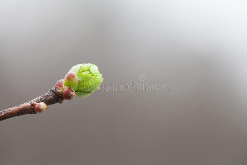 Foto conceptual de la simplicidad Brote de hoja blando suave hermoso del verde de la rama de árbol de la primavera Profundidad de fotografía de archivo libre de regalías