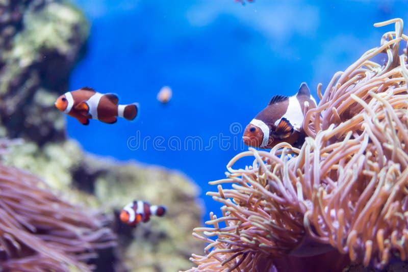 Foto confusa dei clownfish o i anemonefish ed i coralli per backgr fotografie stock libere da diritti