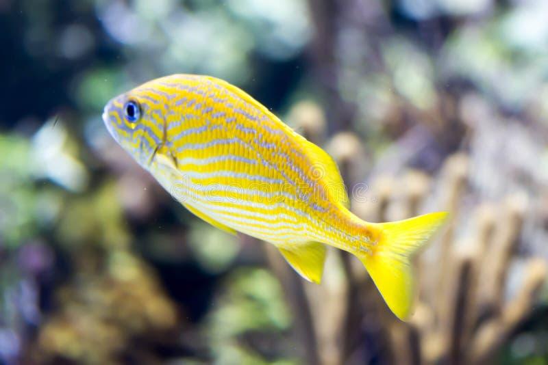 Foto confusa del pesce francese di haemulon flavolineatum di grugnito in un acquario del mare fotografia stock