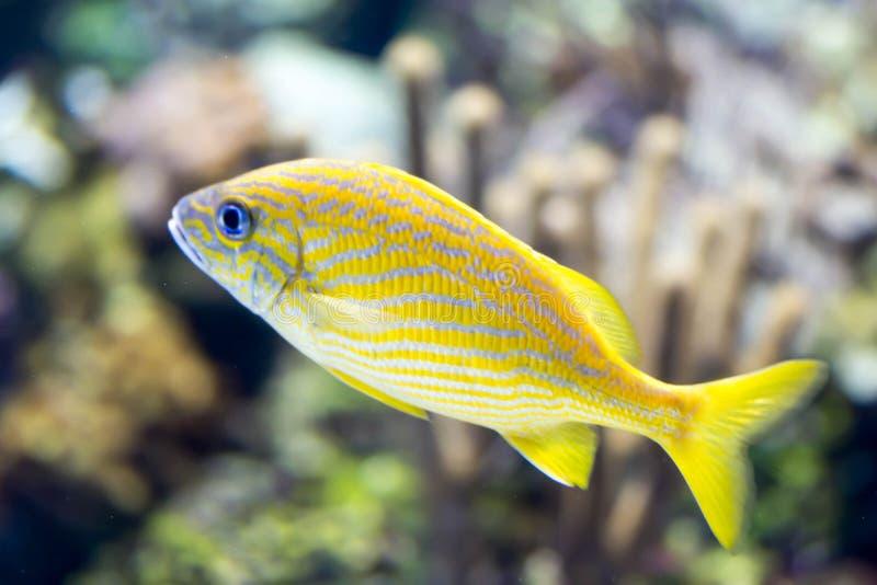 Foto confusa del pesce francese di haemulon flavolineatum di grugnito in un acquario del mare fotografia stock libera da diritti
