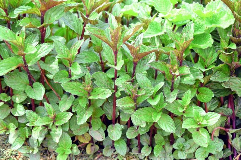 Foto conservada em estoque de Herb Plant Home Gardening Planting da hortelã foto de stock