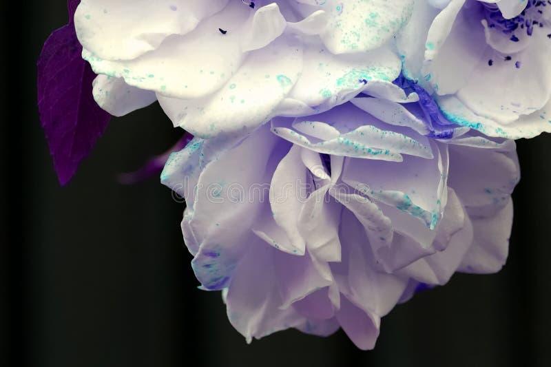 Foto corregida de tres rosas florecientes imagen de archivo libre de regalías