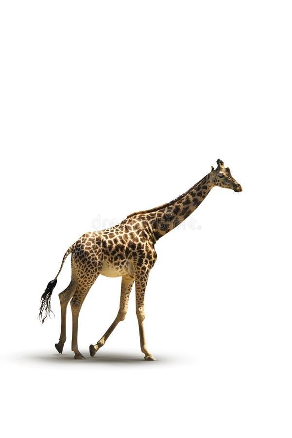 Foto corriente de la jirafa foto de archivo