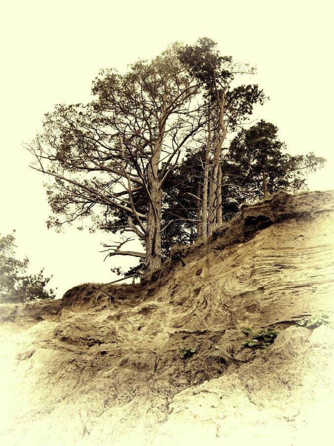 Foto d'annata del pino su un precipizio fotografia stock libera da diritti