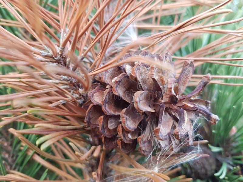 foto da árvore do cone fotos de stock royalty free
