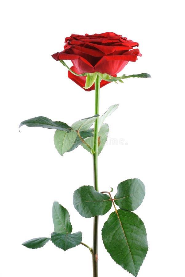 Foto da única rosa do vermelho isolada sobre o branco imagens de stock