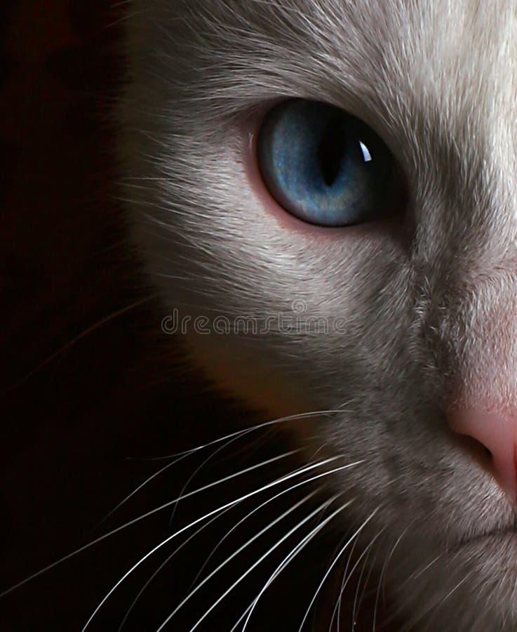 Foto da face do gato branco com olhos azuis foto de stock