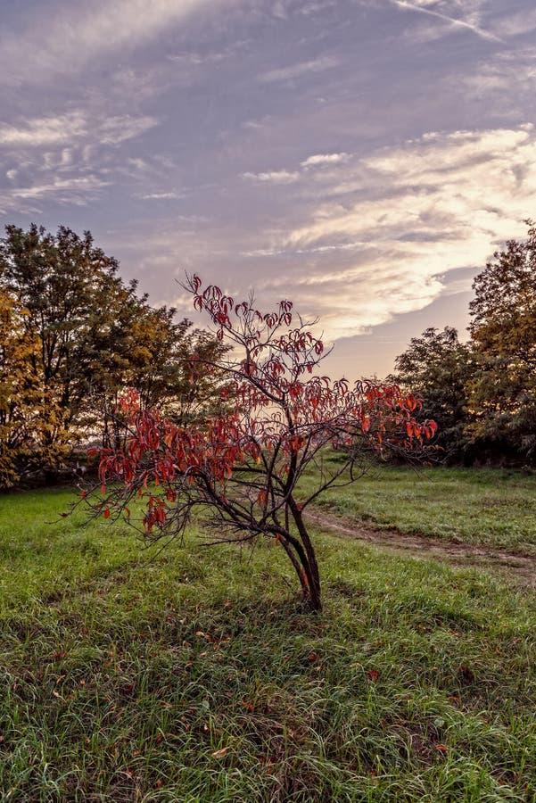 Foto da flor da árvore do vintage da cereja bonita fotos de stock