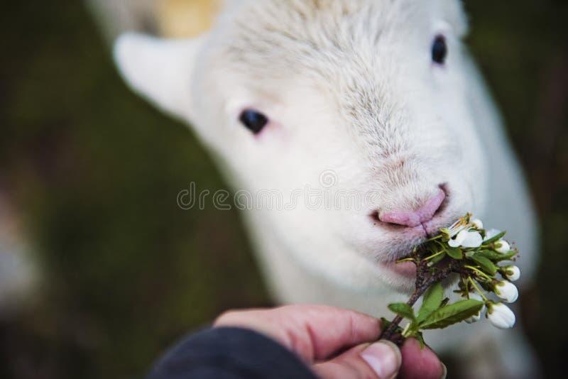 Foto da flor da terra arrendada da pessoa que come o animal branco fotos de stock