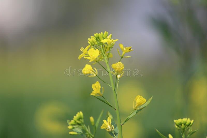 Foto da flor da mostarda imagem de stock