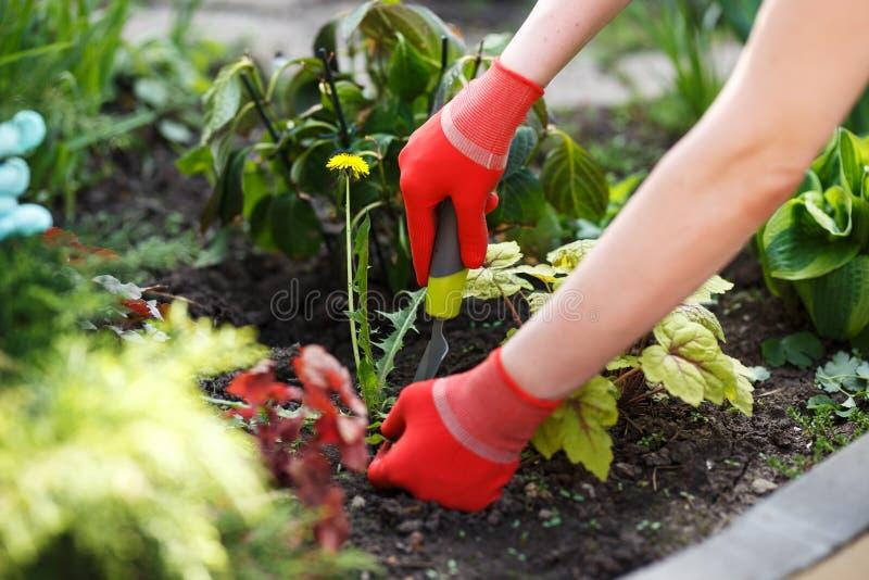 Foto da mão gloved da mulher que mantém a erva daninha e a ferramenta que removem a do solo imagem de stock