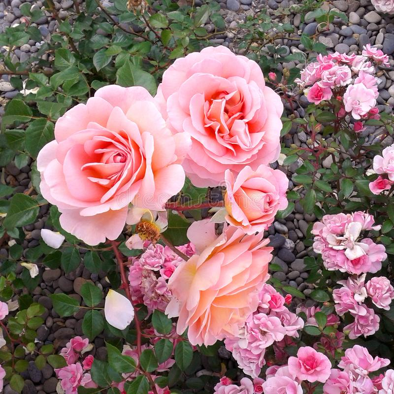 Foto da natureza do verão da grama do jardim da rosa do rosa foto de stock