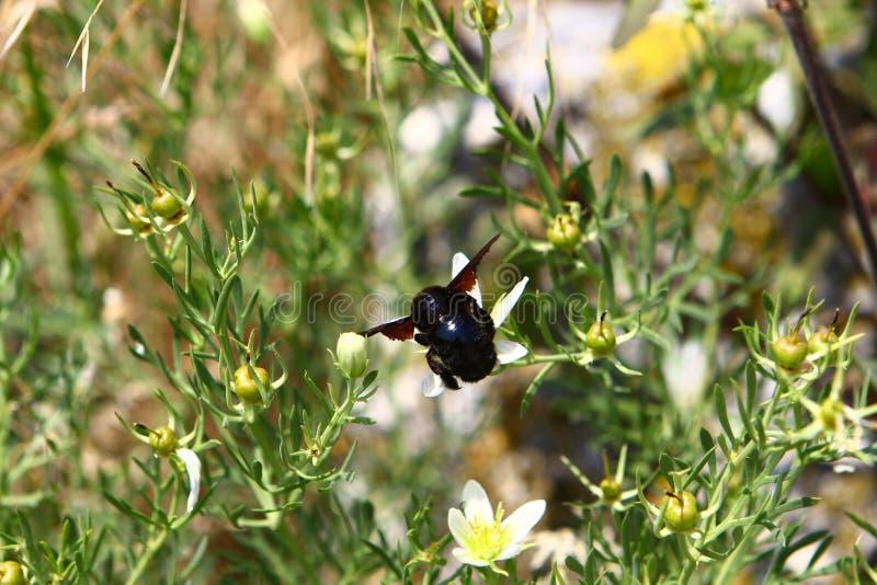 Foto da natureza - erro do voo em flores em horas de verão Conceito da polinização fotografia de stock royalty free