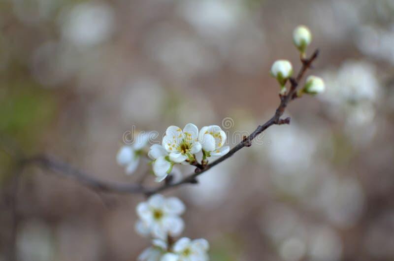 Foto da refeição matinal de florescência da árvore com as flores brancas no bokeh foto de stock royalty free
