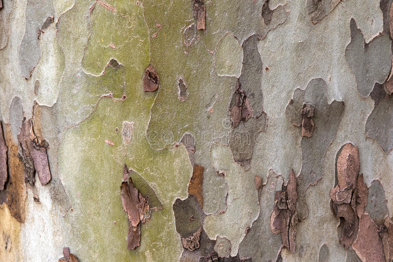 Foto da textura da casca de árvore derramada do plano de Londres imagens de stock royalty free
