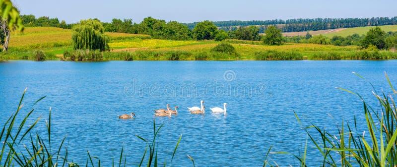 Foto das cisnes no lago azul bonito fotografia de stock