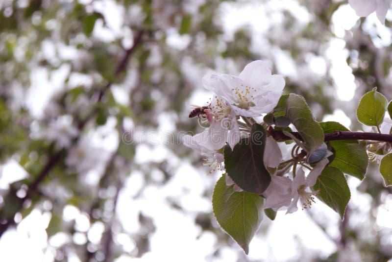 foto das flores da árvore de Apple contra o céu fotos de stock