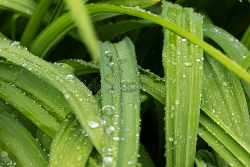Foto das folhas da flor do hemerocallis imagem de stock royalty free