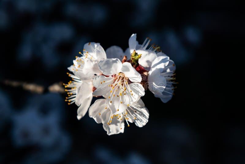 Foto de alta calidad de la flor del cerezo en buenas luces fotos de archivo libres de regalías