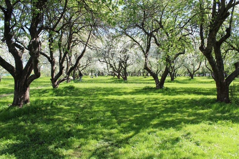 A foto de Apple de florescência jardina em Moscou na primavera foto de stock