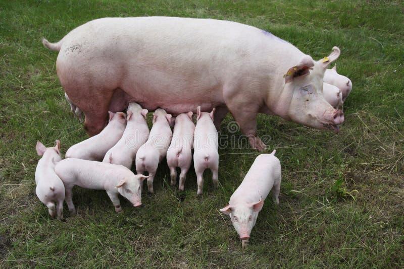 Foto de cima de uma porca e de seus leitão recém-nascidos imagem de stock