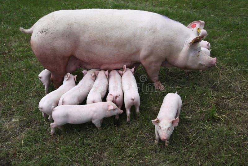 Foto de cima de uma porca e de seus leitão recém-nascidos imagem de stock royalty free