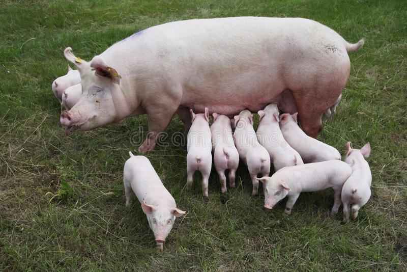 Foto de cima de uma porca e de seus leit?o rec?m-nascidos foto de stock royalty free